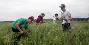 Volunteers from the Newburyport Gulf of Maine Institute (GOMI) team help pull invasive pepperweed in the Great Marsh.  Photo by Liz Duff