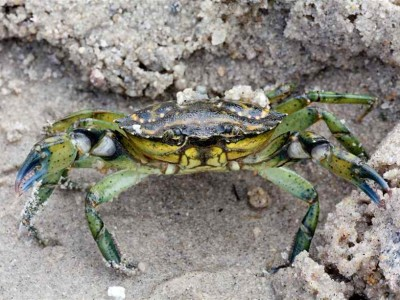 Invasive Green Crab Removal