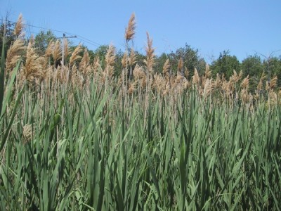 Invasive Phragmites Eradication – Stage Pool, Plum Island