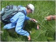 Investigating Phragmities salinity tolerance