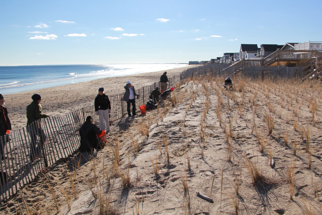 Native Plantings And Sand Fencing Help Beach Dune Restoration